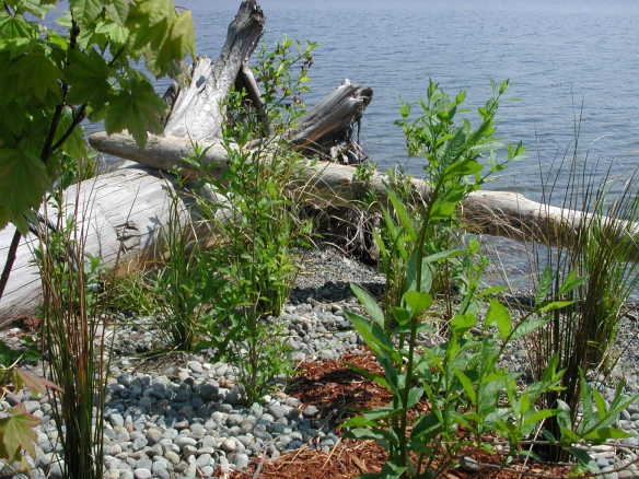 Changing water levels in Lake Washington require appropriate plant selection.   As well, plants and habitat features must be firmly anchored in the substrate to avoid loss.